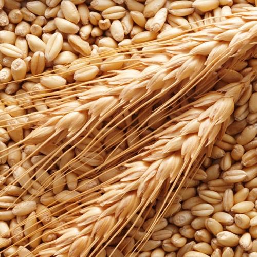 olio di germe di grano primobio
